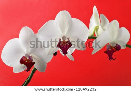 Flowers of white orchid with buds on red background