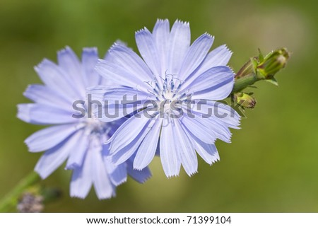 Flowers of wild chicory on a background of a field grass with shallow DOF