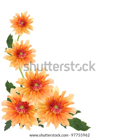 Flowers of yellow dahlias - stock photo