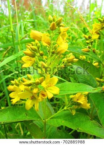 Flowers yellow loosestrife lysimachia vulgaris stock photo edit now flowers of yellow loosestrife lysimachia vulgaris mightylinksfo