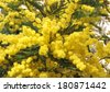 flowers of yellow mimosa and the symbol of the celebration of women - stock photo