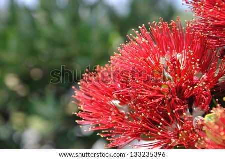 flowers on a pohutukawa tree (Metrosideros excelsa), flowering on the West Coast, New Zealand - stock photo