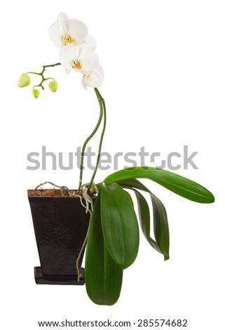 Flowers orchids in black flowerpot isolated on white background. Closeup. - stock photo