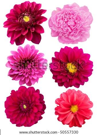 Flowers  peonies   dahlias - stock photo
