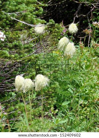 flowers plants bear grass in mountains - stock photo