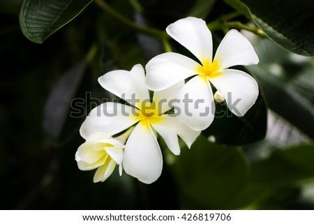 flowers, plumeria flowers, white plumeria, white plumeria flowers on the plumeria tree. - stock photo