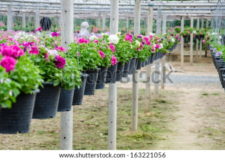 flowers pot nursery  for garden in the greenhouse.