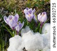 Flowers purple crocus in the snow, spring landscape - stock photo