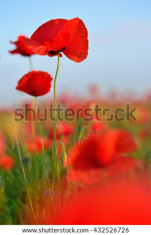 flowers red poppies. flower field. blue sky. Close-up of a flower. - stock photo