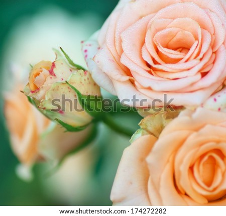 flowers rose close up with blur. soft focus. bouquet covered with dew drops. colorful floral background - stock photo