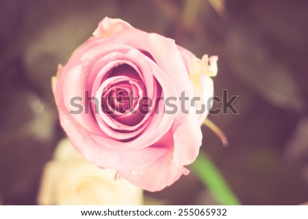 flowers rose with filter effect retro vintage style - stock photo