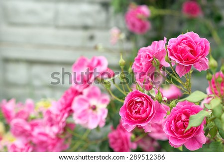 Flowers roses adorn the fence - stock photo