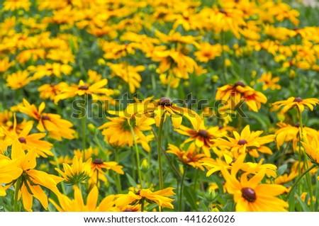 Flowers rudbeckia in the garden - stock photo