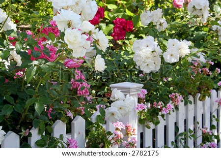Flowers Spilling Over White Picket Fence - stock photo