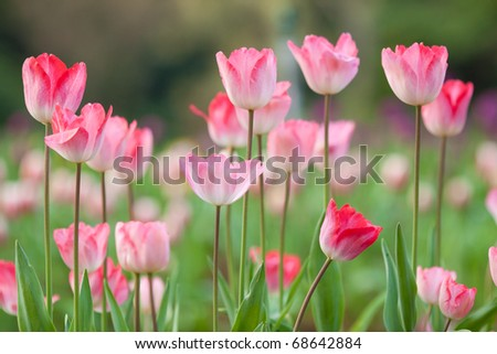 flowers, tulips - stock photo