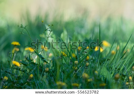 flowery meadow with crowfoot and hawkbit