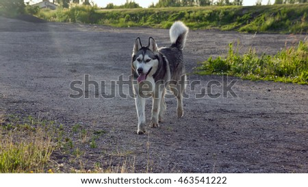fluffy, adult dog alaskan malamute is on the road from gravel in the summer, in the background rays of the sun, the trees and grass