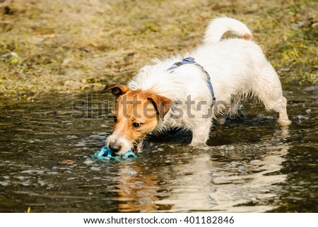 Fluffy and wet terrier dog playing in puddle with a ball - stock photo