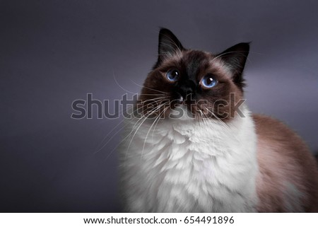 Fluffy blue-eyed cat on a gray background