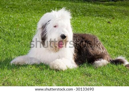 Fluffy bobtail lying on grass - stock photo
