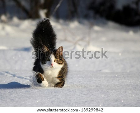 Fluffy cat running on the snow field - stock photo