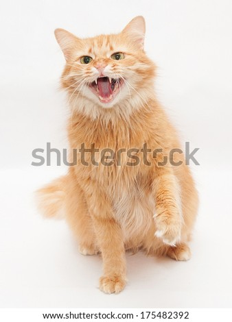 Fluffy cat with green eyes hisses aggressively, raising his paw on white background - stock photo