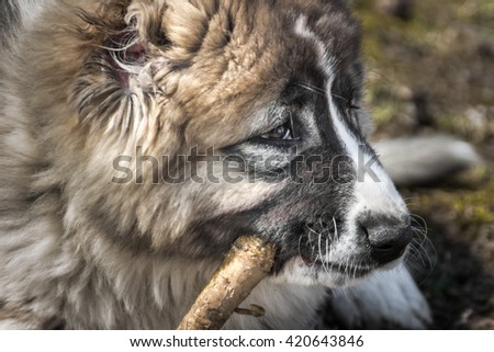 Fluffy Caucasian shepherd dog (profile) is gnawing the stick - stock photo