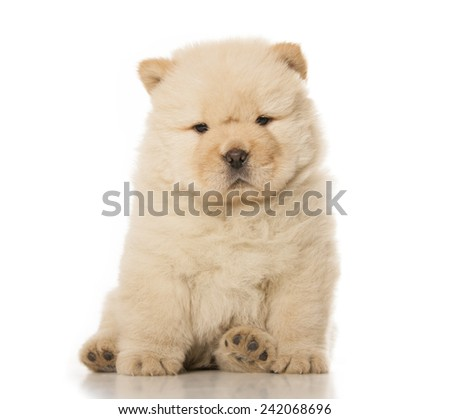 fluffy chow-chow puppy isolated over white background - stock photo
