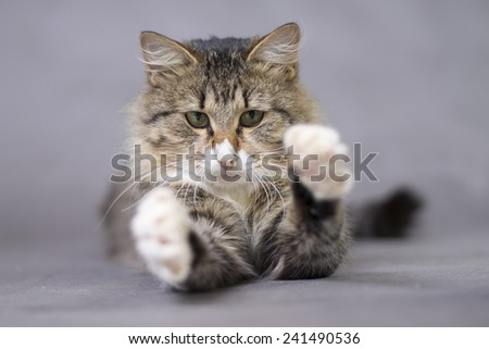 fluffy cute cat catches something or someone paws - stock photo