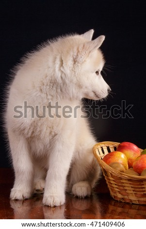 Fluffy cute Siberian Husky gray puppy with brown eyes with apples on dark black background