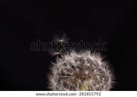 fluffy dandelion on a black background - stock photo