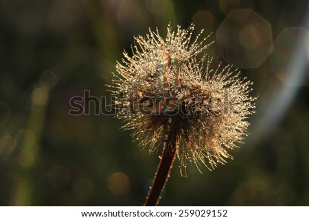 Fluffy dandelion with drops of dew - stock photo