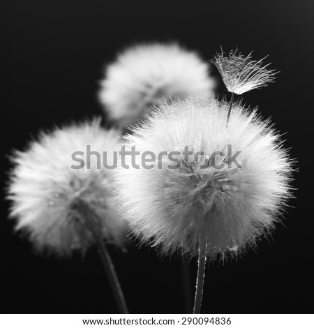 Fluffy dandelions close-up on dark background. Black and white image. Shallow DOF, focus on seed. - stock photo