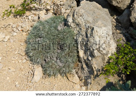Fluffy decorative perennial herb Onosma. Rare species. Grows on rocky limestone slopes and rocky areas at an altitude of 100-1000 m above sea level. - stock photo
