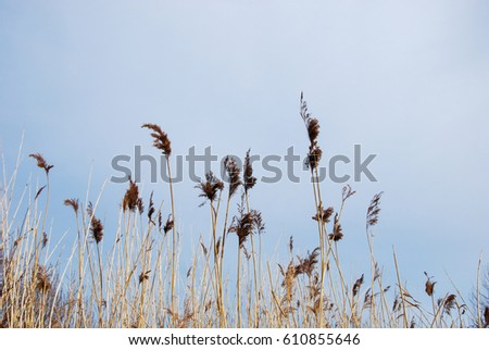 Fluffy dry reeds by a blue sky at spring season