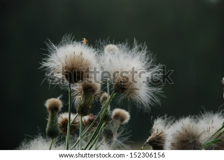 Fluffy flowers in calm weather. Fragile resistance and hope to survive.