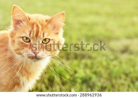 fluffy ginger cat peeking from the left side - stock photo