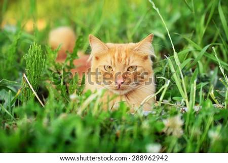 fluffy ginger cat sitting in the grass having hidden - stock photo