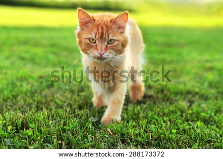 fluffy ginger cat sneaks up across the lawn - stock photo