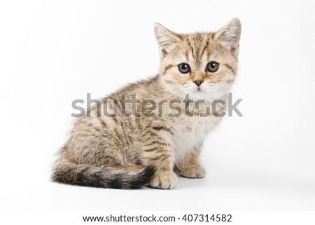 Fluffy ginger tabby kitten British cat (isolated on white) - stock photo