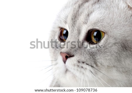 fluffy gray beautiful adult cat, breed scottish-fold, very  close up  portrait  , on white background, isolated - stock photo