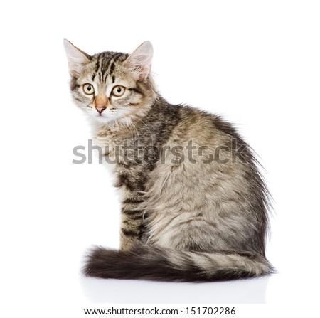 fluffy gray beautiful kitten. isolated on white background - stock photo