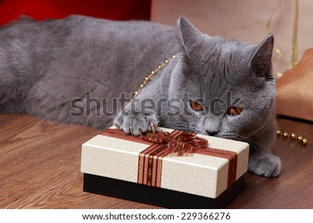 Fluffy gray british cat on Holiday theme - stock photo