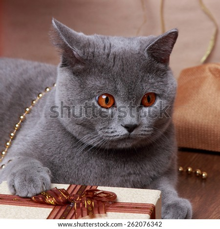 Fluffy gray british cat with Christmas gifts on Holiday theme - stock photo