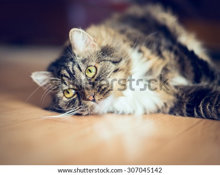 fluffy gray cat lying on the wooden floor in the apartment - stock photo