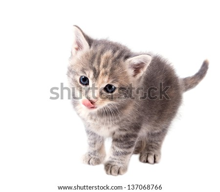 Fluffy gray kitten licking his lips isolated on white background - stock photo