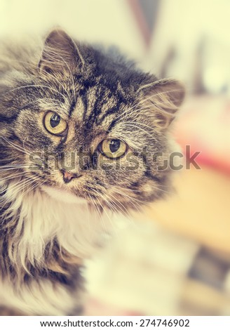 Fluffy house cat stares at  camera on blurred  living room background, toned - stock photo