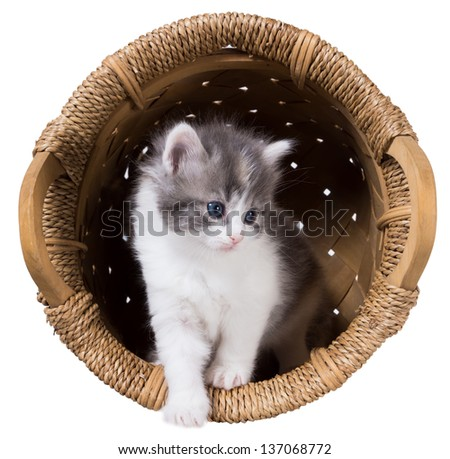 Fluffy kitten gets out of the basket isolated on a white background - stock photo