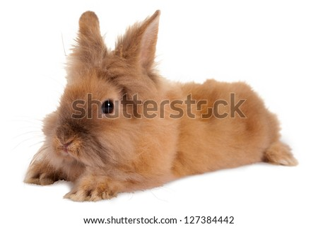 Fluffy little brown baby rabbit on a white background