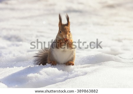 fluffy little red squirrel in the snow eating nuts - stock photo